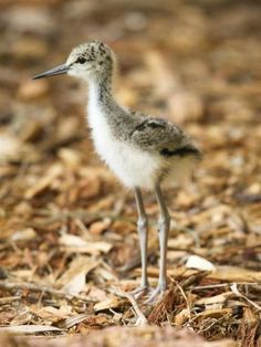Four Black-winged Stilt chicks hatched at Perth Zoo in Australia at the end of November.