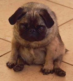 Round pug so cute