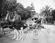 1920s Ostrich Farm