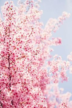Spring blossoms in full bloom. Pretty In Pink, Beautiful Flowers, Beautiful Pictures, Beautiful Things, Flower Power, Spring Photography, Spring Blossom, Landscape Pictures, Spring Flowers