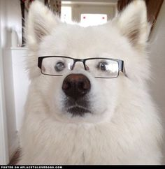 23 Samoyed Saturday Dog Samoyed Photos Who doesnt love cute fluffy dogs and are some of the cutest. Cute Fluffy Dogs, Fluffy Animals, Cute Animals, Dog Photos, Dog Pictures, Sammy, Most Beautiful Dogs, Puppies And Kitties, Doggies
