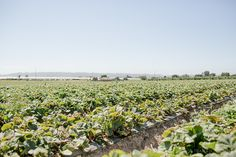 Pick your own Strawberries in Watsonville, California