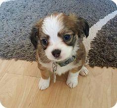 Columbus, OH - Corgi/Terrier (Unknown Type, Small) Mix. Meet Scotch, a puppy for adoption. http://www.adoptapet.com/pet/16570592-columbus-ohio-corgi-mix