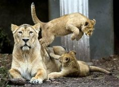 Two Asiatic lion cubs  accompanied by their mother !