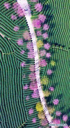 Un peu de thé à la cerise ?/ Champs de théiers et cerisiers en fleurs. / Tea fields and cherry blossoms, / Chine. / China.