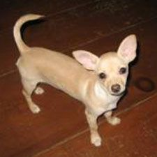 Different Sizes of Chihuahua Dogs | You May Also Like