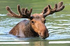 10 Gigantic Facts About Moose | Mental Floss