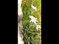 Fabbro Zino Collezione La Regina dei fiori Alpini