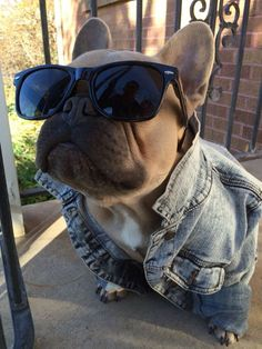 Worlds coolest French Bulldog. Instagram- @thefrenchduke