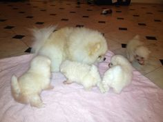 Pomeranian mama with her pups. Just too adorable for words.