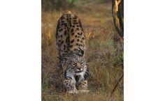 Top 20: felinos extraordinários - Lince-ibérico (Lynx pardinus).