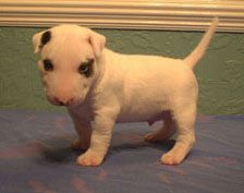 Miniature Bull Terrier Puppies Ca Premium List Miniature Bull Terrier Adoption Procedures Mini