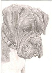 Boxer Dog Drawings - Boxer by Rebecca Vose