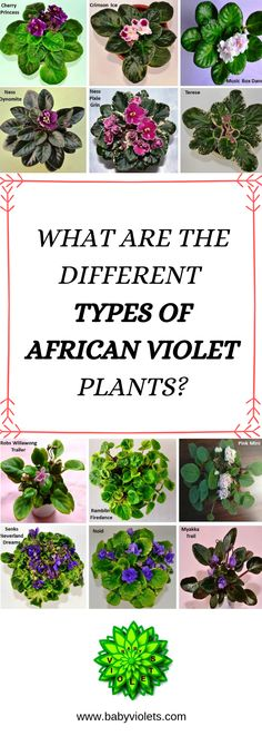 What are the Different Types of African Violet Plants?African Violets can be divided in two main categories depending upon their type: Rosette African violet plants and trailing African violet plants. Container Plants, Container Gardening, Indoor Gardening, Gardening Tips, Garden Plants, Indoor Plants, Herb Garden, Violet Plant, Plant Cuttings
