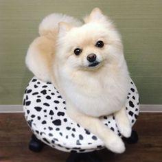 くるむちゃん!ふわふわになりました〜♡ 新規のお客様シャンプーコース半額キャンペーン中です!#ポメラニアン #パピヨン#スピッツ#smile#dog#pet#petsalon#trimmingsaron#grooming#犬#ドッグ#ドッグサロン#愛犬##ペット#ペットサロン#おしゃれ#川崎市#麻生区#上麻生#小田急線#柿生#スープスプーン#スープスプーン川崎店