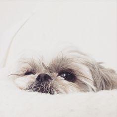 Dunno if I should pin it on Inspiration too Perro Shih Tzu, Shih Tzu Puppy, Shitzu Puppies, Dogs And Puppies, Doggies, Cool Pets, Cute Dogs, Shiz Tzu, Dog Best Friend
