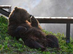 Расслабленный медведь, Камчатка. Автор фото- Максим Ушаков.