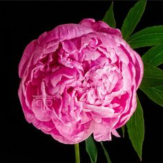 Pink Peony in Bloom by Sarah Hollander , Art Print - SH, The Pink Pagoda
