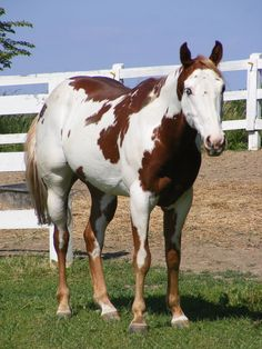 Manitoba paint horse   Paint Horse 39 by ~EquineStockImagery on deviantART