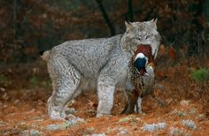 View top-quality stock photos of Canada Lynx With Pheasant Prey. Find premium, high-resolution stock photography at Getty Images. Canada Lynx, Panther, Wildlife, Cute Animals, Cats, Reading, Books, Pretty Animals, Gatos