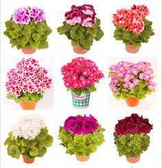 Hot Sale 100PCS/Bag Multiple Colour Geranium Seeds, Perennial Flower Seeds Pelargonium ,Indoor Plants Beautiful Flower Seeds