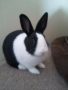 Dutch rabbit! I want one!    great pets