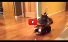 Cat enjoys riding his toy truck to the kitchen.