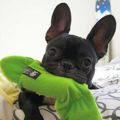 @frenchie_ninja frenchie, French Bulldog Puppy