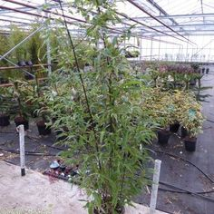 Large Black Bamboo Plants For Sale. Bamboo Phyllostachys Nigra, the darkest caned Bamboo for the UK market, for the blackest canes plant in full sun. Bamboo Nigra is one of the better behaved Phyllostachys varieties, no real need for a root barrier. Black Bamboo Plant, Bamboo Plants For Sale, Bamboo Plant Care, Bamboo Tree, Plants Near Me, Big Plants, Indoor Plants, Bamboo Landscape, Bamboo Garden