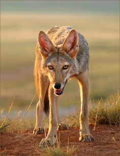 Print ~ This Is Coyote
