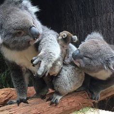 """""""Quick darl, can you grab the baby harness?"""" - Parenting can be a tricky task, but luckily mum Buttons is on the ball! This is indeed a mother, father and baby trio of koalas, and they live at @ballaratwildlifepark in Victoria. Apparently, baby Pearl is developing and growing very well and is venturing away from the safety of her family a little more each day. Not sure about you, but we secretly wish she'd never grow up - she's just too cute! 🐨"""