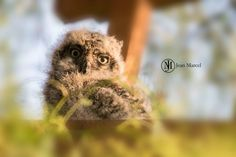 Baby eagle owl