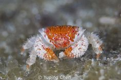 """Checkout this highly voted shot by Yuping Chen. """"Beautiful Purse Crab/AKA island, Okinawa,Japan, Canon 5D MarkIII, 100mm Lens,ATG+10,Sea&Sea housing,Inon Z240*2, F11,1/160,ISO100"""""""