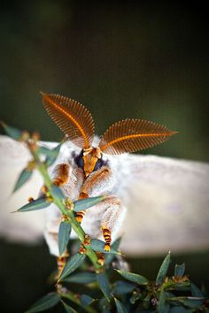 Big fuzzy moth by Pink Thistle, via Flickr