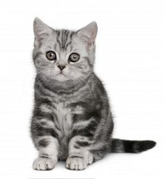 British Shorthair <3