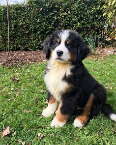 Meet Oreo, our 12 week old Bernese Mountain Dog! Cute Baby Dogs, Cute Dogs And Puppies, Cute Baby Animals, Doggies, Best Dog Breeds, Best Dogs, Burmese Mountain Dogs, Entlebucher, Cute Animal Photos