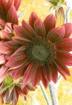 mulan ruge sun flower