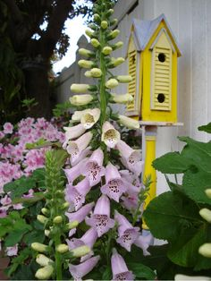 FOXGLOVES with yellow birdhouse in background