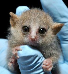 Behold the Cuteness: Tiny Gray Mouse Lemurs Born At Duke Lemur Center