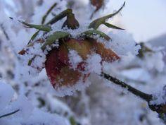 Rosen als Eisblumen (c) FRank Koebsch