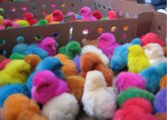 colorful colorful chicks
