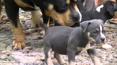 Tricolored Pax Blood American Bully Filhotes Tricolor Blue Lilac Back