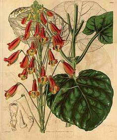293 Gesneria zebrina Paxton / Curtis's Botanical Magazine, t. 3880-3963, vol. 68 [ser. 2, vol. 15]: t. 3940 (1842) [W.H. Fitch]