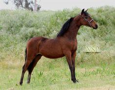 american shetland pony | american shetland pony modern pleasure filly shetland pony horses ...
