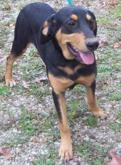 Black & Tan M 6 months 45 lbs. neutered named Bandit in Centerville, TN @ Hickman Humane Society 1-866-304-3352 jeibrab@aol.com