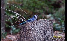 a Blue Jay on the Huntsville Botanical Garden's bird trail. Bird Migration, Garden S, Blue Jay, Botanical Gardens, Alabama, Wild Flowers, Trail, Instagram, Wildflowers