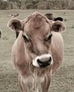 Farm Animals, Cute Animals, Unique Animals, Fluffy Cows, Farm Photography, Farmhouse Decor, Rustic Decor, Country Decor, Cute Cows