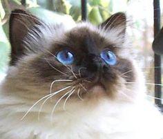 Birman Cat like my Otis