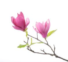 Pink magnolia flowers isolated on white background stock photo