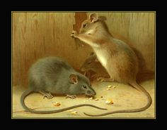 A Thorburn a grey and  brown rat